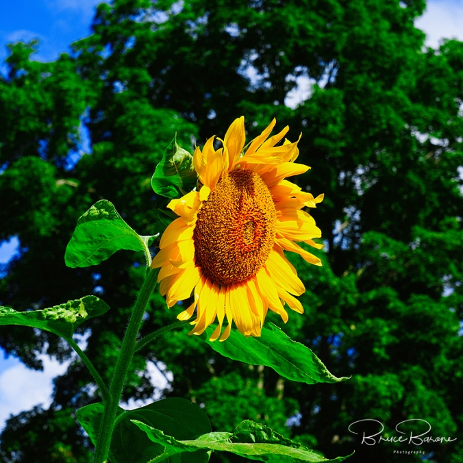 Sunflower2018